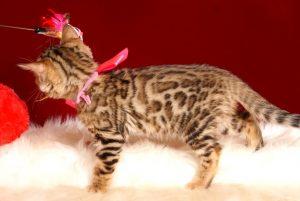 ベンガルの子猫 2018/12/22生まれ 629番ピンクちゃん メス4