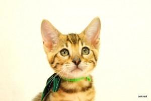 ベンガルの子猫161番ミドリちゃん