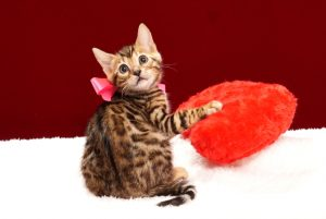 ベンガルの子猫 2017年11月29日生まれ 442番ピンクちゃん