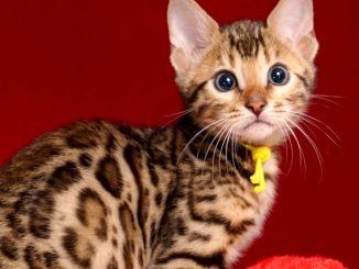 ベンガルの子猫 2019/1/1生まれ 638番イエロー君 オス1