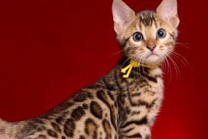 ベンガルの子猫 2019/1/1生まれ 638番イエロー君 オス2