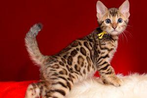 ベンガルの子猫 2019/1/1生まれ 638番イエロー君 オス3