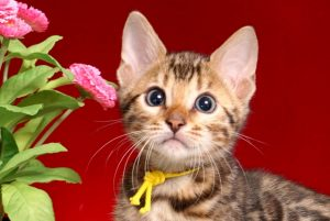 ベンガルの子猫 2019/1/1生まれ 638番イエロー君 オス6