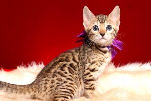 ベンガルの子猫 2019/1/1生まれ 637番パープルちゃん メス1