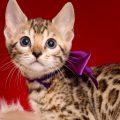 ベンガルの子猫 2019/1/1生まれ 637番パープルちゃん メス2