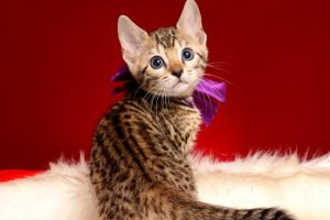 ベンガルの子猫 2019/1/1生まれ 637番パープルちゃん メス3