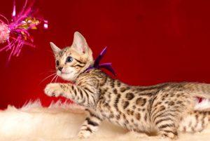 ベンガルの子猫 2019/1/1生まれ 637番パープルちゃん メス7