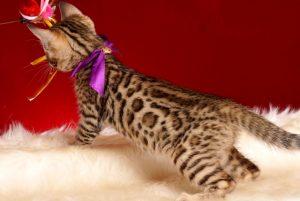 ベンガルの子猫 2019/1/1生まれ 637番パープルちゃん メス5