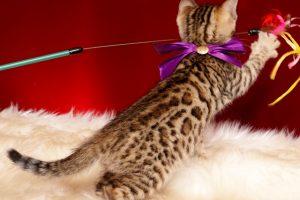 ベンガルの子猫 2019/1/1生まれ 637番パープルちゃん メス6