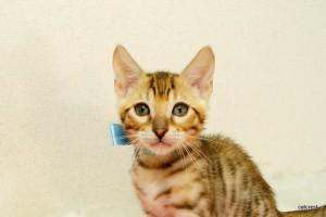 ベンガルの子猫162番ミズイロ君