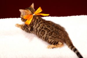 ベンガルの子猫2017年12月7日生まれ 447番オレンジ君