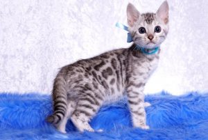 ベンガルの子猫 2019/1/1生まれ 636番アクア君 オス1