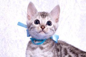 ベンガルの子猫 2019/1/1生まれ 636番アクア君 オス2