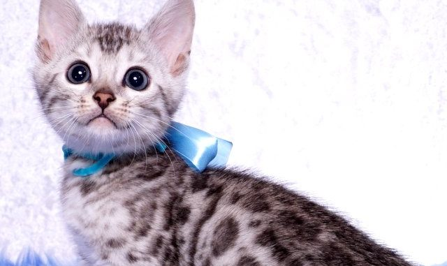 ベンガルの子猫 2019/1/1生まれ 636番アクア君 オス3