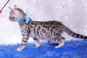 ベンガルの子猫 2019/1/1生まれ 636番アクア君 オス5