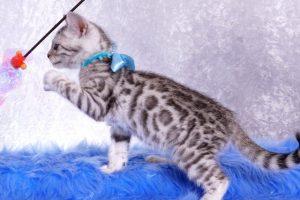 ベンガルの子猫 2019/1/1生まれ 636番アクア君 オス6