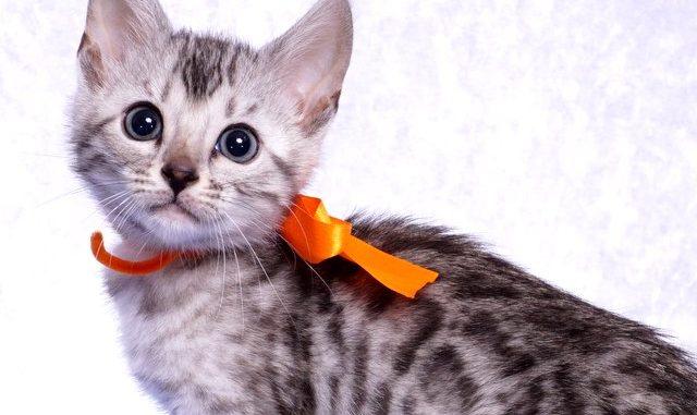 ベンガルの子猫 2019/1/1生まれ 635番オレンジちゃん メス1