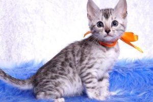 ベンガルの子猫 2019/1/1生まれ 635番オレンジちゃん メス2
