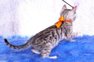 ベンガルの子猫 2019/1/1生まれ 635番オレンジちゃん メス4