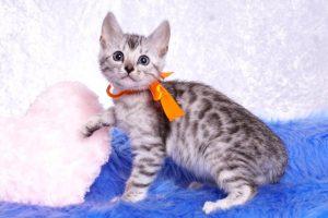 ベンガルの子猫 2019/1/1生まれ 635番オレンジちゃん メス5