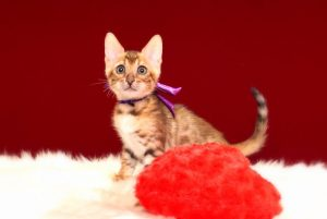 ベンガルの子猫2017年3月3日生まれ 327番パープル君