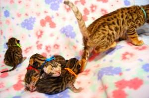 ベンガルの子猫生まれたて