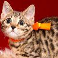 ベンガルの子猫 2019/1/10生まれ 639番オレンジちゃん メス2