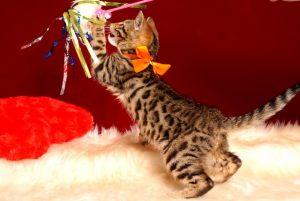ベンガルの子猫 2019/1/10生まれ 639番オレンジちゃん メス6