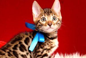 ベンガルの子猫 2019/2/18生まれ 646番ブルー君 オス1