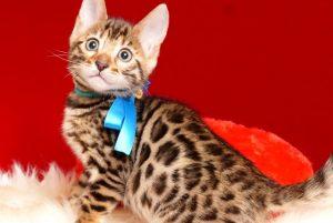 ベンガルの子猫 2019/2/18生まれ 646番ブルー君 オス2