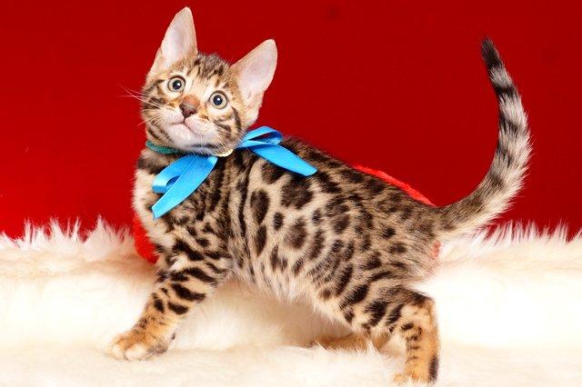 ベンガルの子猫 2019/2/18生まれ 646番ブルー君 オス3