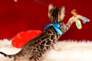 ベンガルの子猫 2019/2/18生まれ 646番ブルー君 オス4