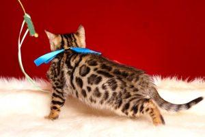 ベンガルの子猫 2019/2/18生まれ 646番ブルー君 オス5