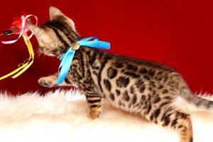 ベンガルの子猫 2019/2/18生まれ 646番ブルー君 オス6