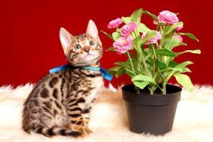 ベンガルの子猫 2019/2/18生まれ 646番ブルー君 オス7
