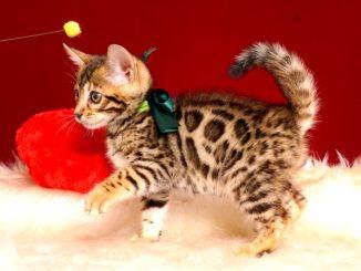 ベンガルの子猫 2019/2/18生まれ 645番グリーン君 オス4