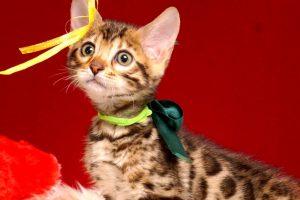 ベンガルの子猫 2019/2/18生まれ 645番グリーン君 オス5