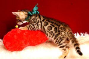 ベンガルの子猫 2019/2/18生まれ 645番グリーン君 オス6