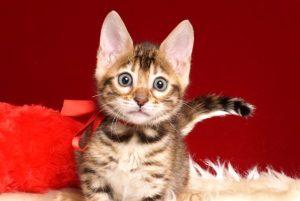 ベンガルの子猫 2019/2/18生まれ 644番レッドちゃん メス2