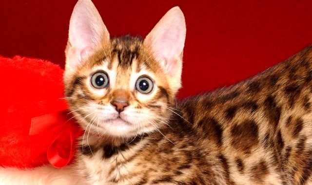 ベンガルの子猫 2019/2/18生まれ 644番レッドちゃん メス4