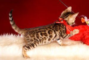 ベンガルの子猫 2019/2/18生まれ 644番レッドちゃん メス7