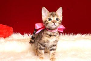 ベンガルの子猫 2019/2/18生まれ 643番ピンクちゃん メス2