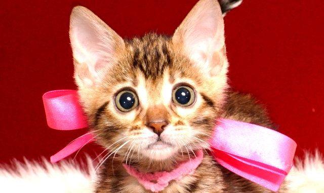 ベンガルの子猫 2019/2/18生まれ 643番ピンクちゃん メス3