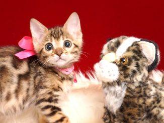 ベンガルの子猫 2019/2/18生まれ 643番ピンクちゃん メス4