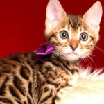 ベンガルの子猫 2019/2/18生まれ 642番パープルちゃん メス1