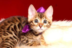 ベンガルの子猫 2019/2/18生まれ 642番パープルちゃん メス2