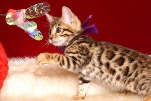 ベンガルの子猫 2019/2/18生まれ 642番パープルちゃん メス3