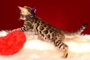 ベンガルの子猫 2019/2/18生まれ 642番パープルちゃん メス4