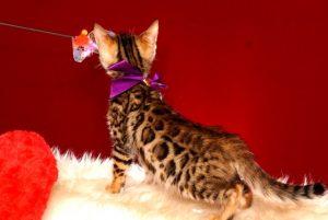 ベンガルの子猫 2019/2/18生まれ 642番パープルちゃん メス5