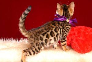 ベンガルの子猫 2019/2/18生まれ 642番パープルちゃん メス6